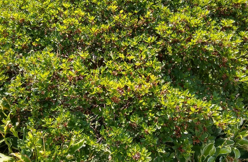 Azalea, Asian Hybrid