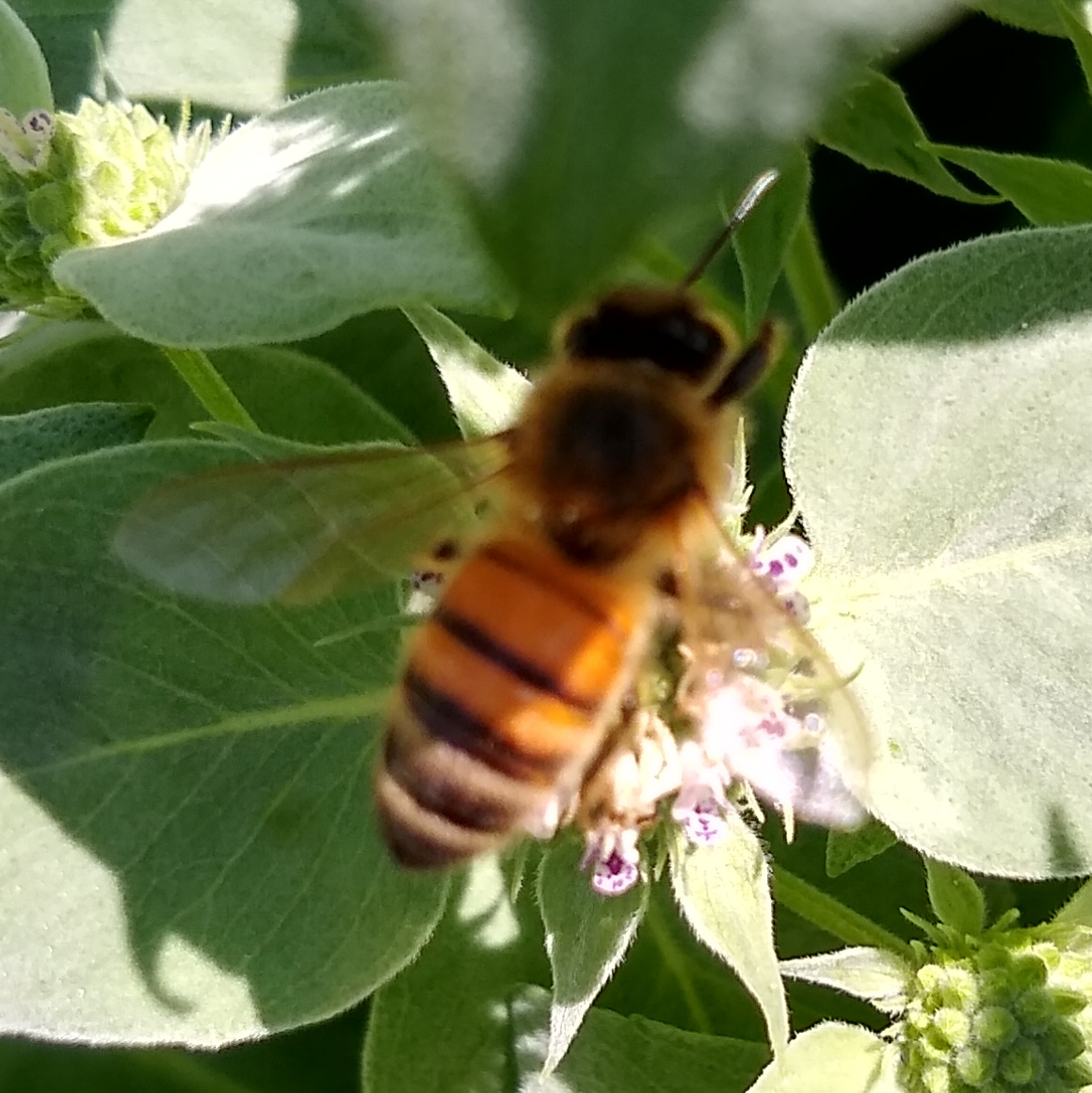 Honey Bee, European