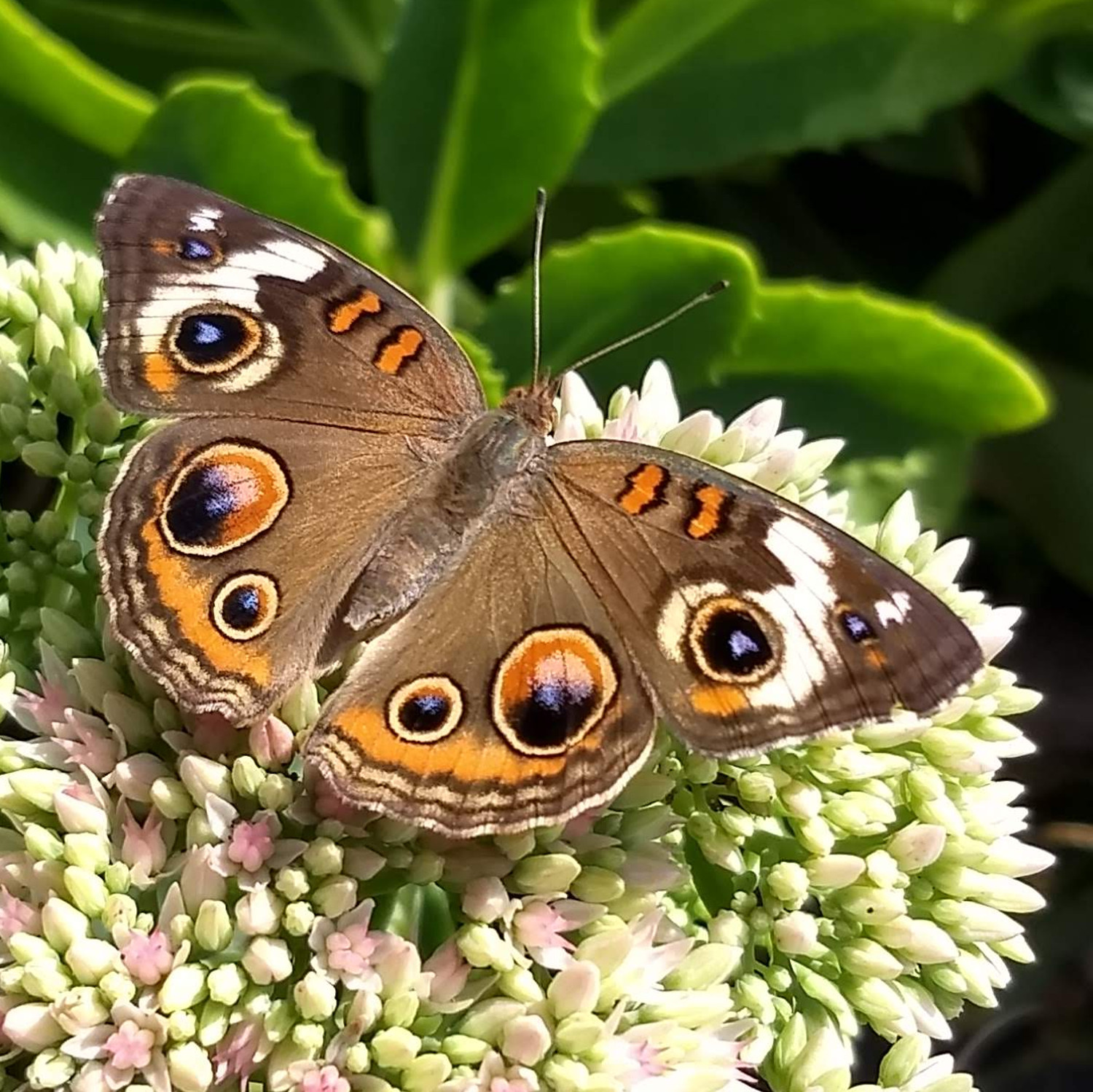 Common Buckeye Butterfly