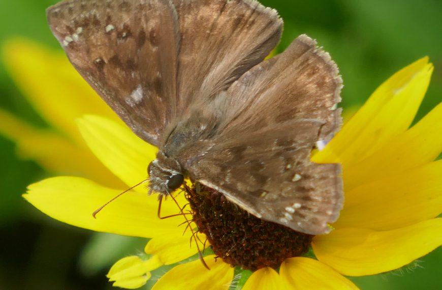 Horace's Duskywing Butterfly