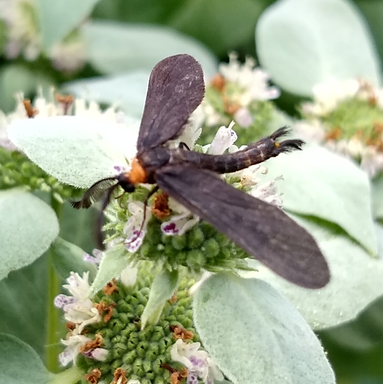 Grapeleaf Skeletonizer  Moth