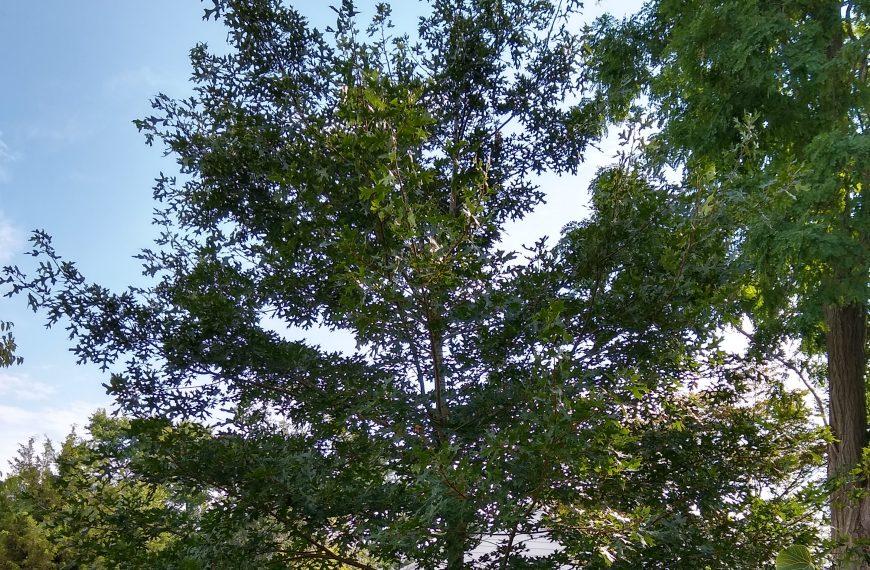 Oak, Scarlet