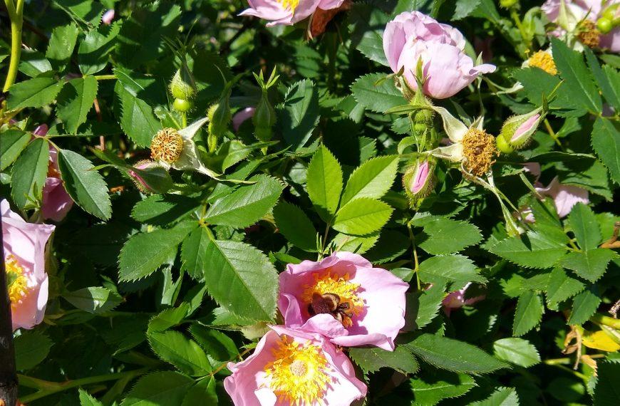 Rose, Virginia