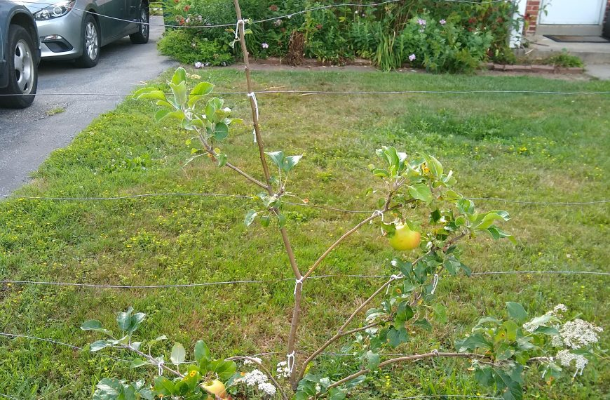Apple Tree (Dwarf)