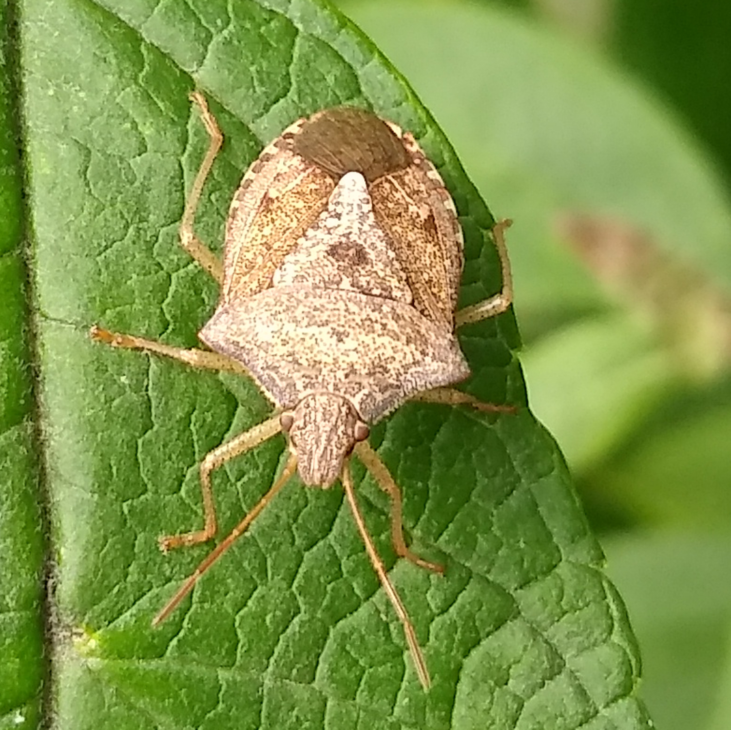 Stink Bug, Brown