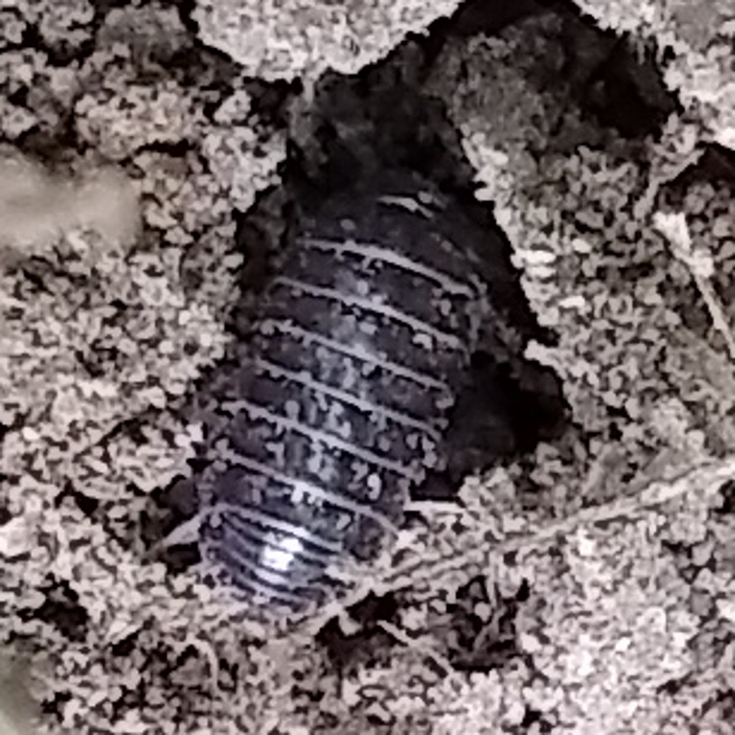 Pill Bug / Roly Poly