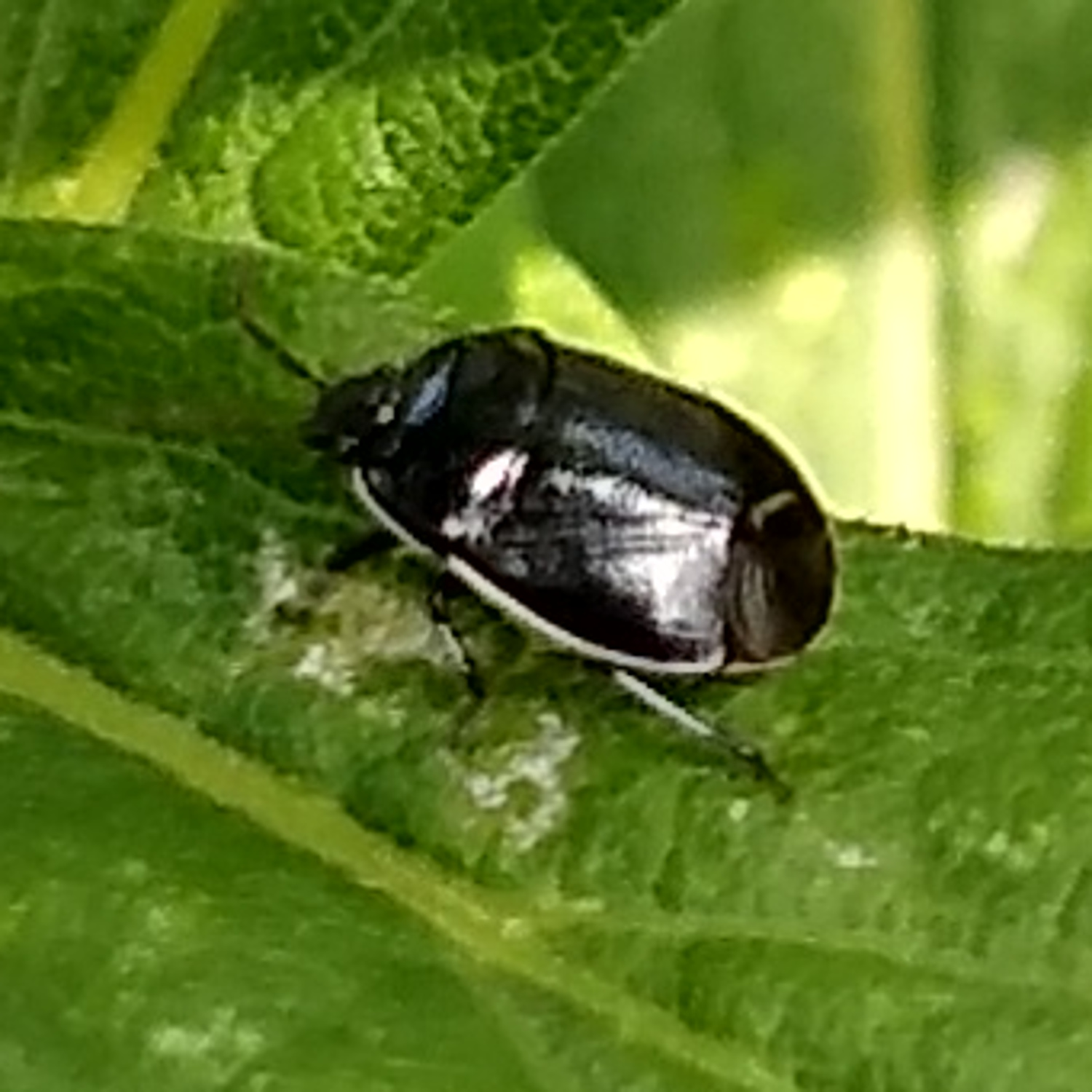 White-Margined Burrower Bug