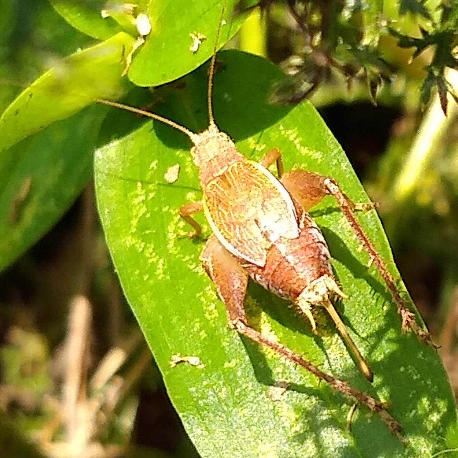 Restless Bush Cricket