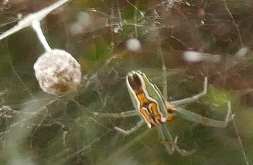 Basilica Orbweaver Spider