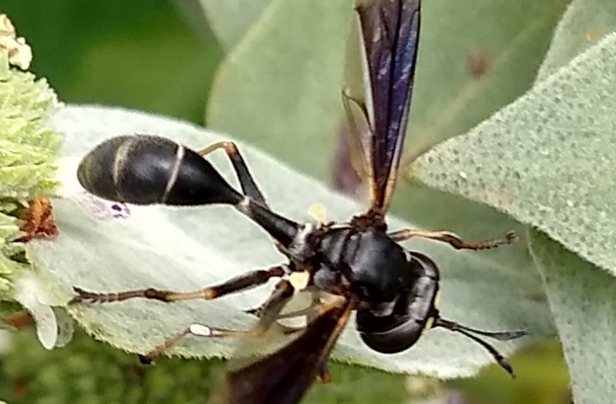 Common Eastern Physocephala Fly