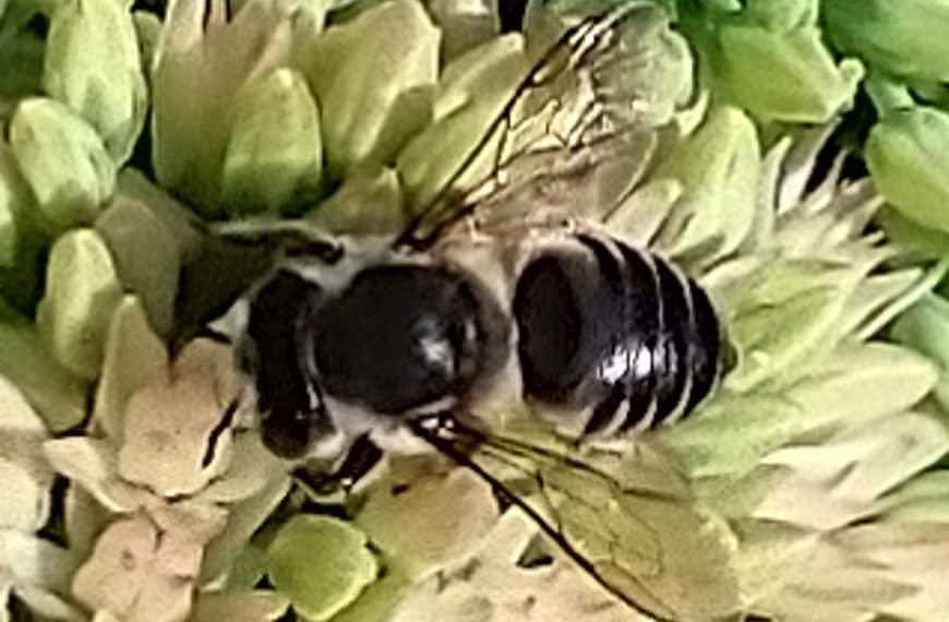 Flat-Tailed Leafcutter Bee