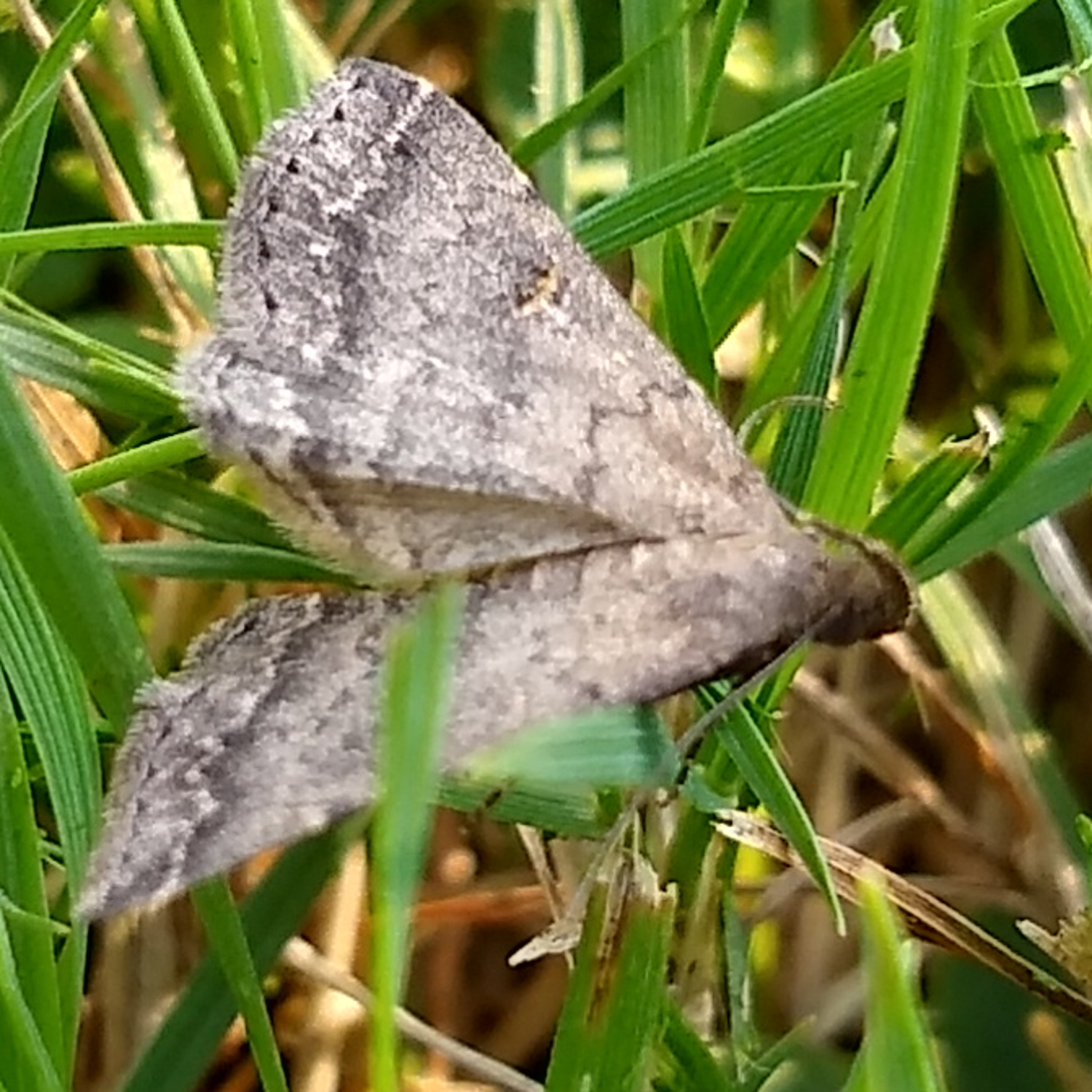 Bent Winged Owlet Moth