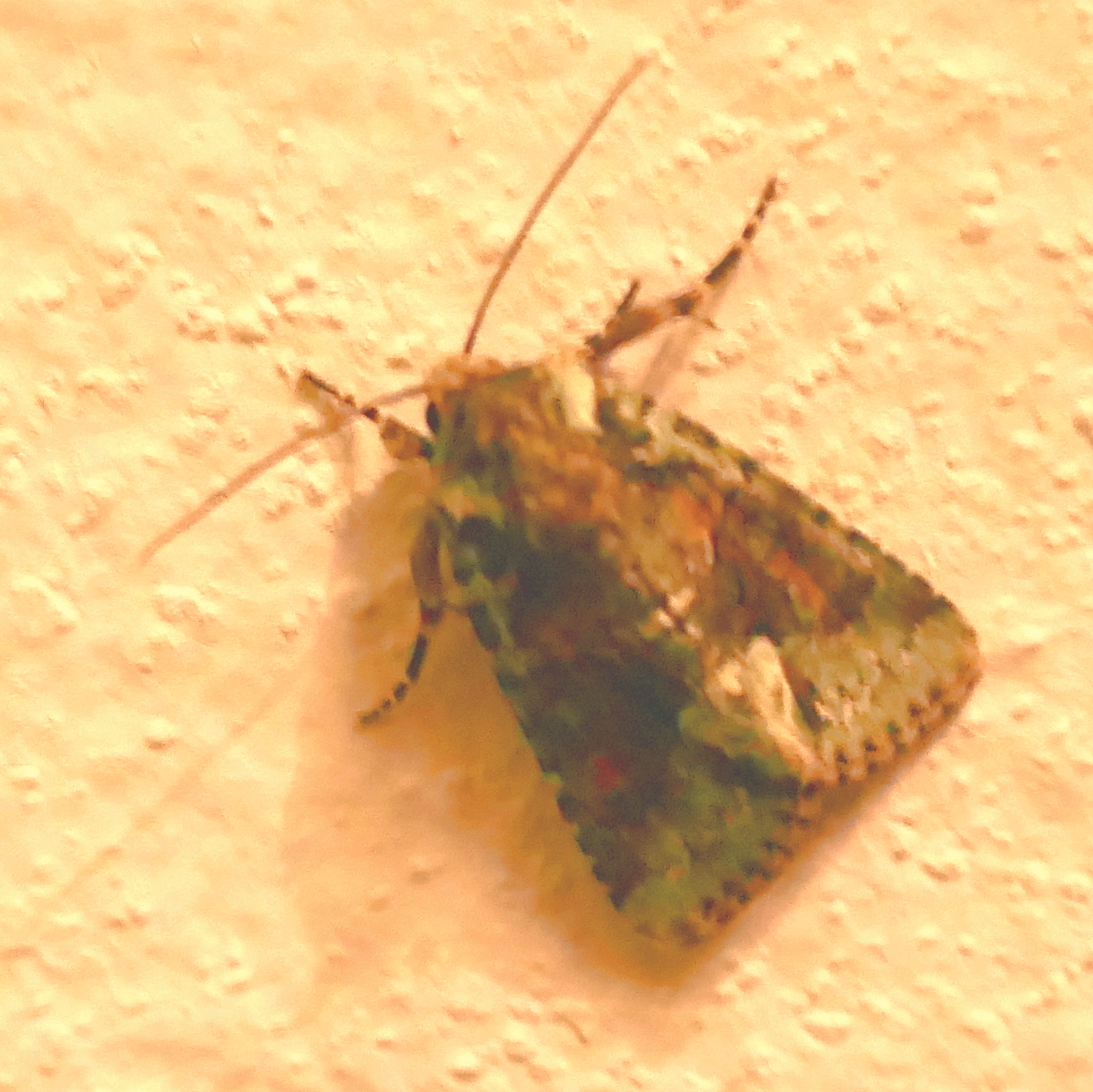 Explicit Arches Moth