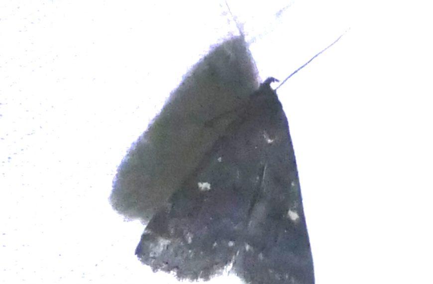 Smoky Tentanolita Moth
